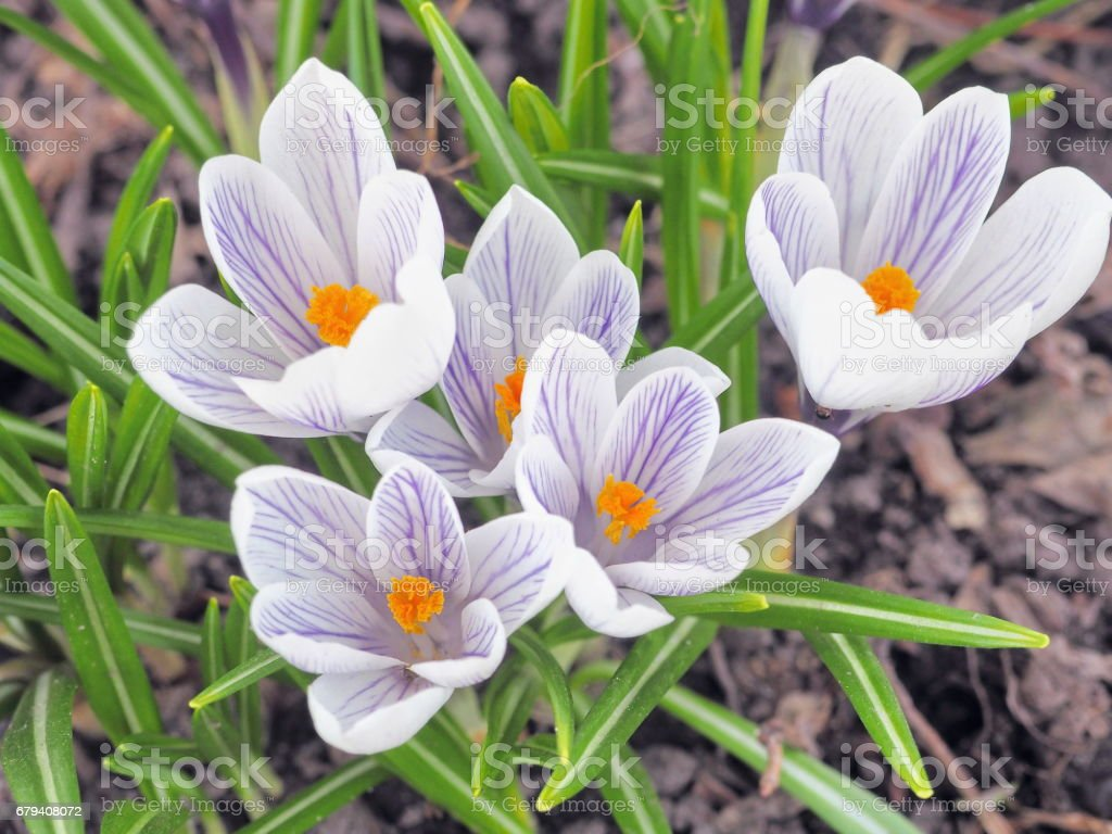 Crocus flowers at springtime. White and purple spring flowers on soil. royalty-free stock photo