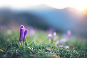 Close-up of blooming crocus flowers on mountain meadow at sunrise.