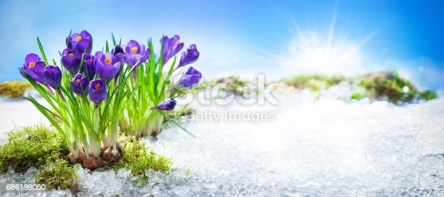 639394370 istock photo Crocus flowers blooming through the melting snow 686199050