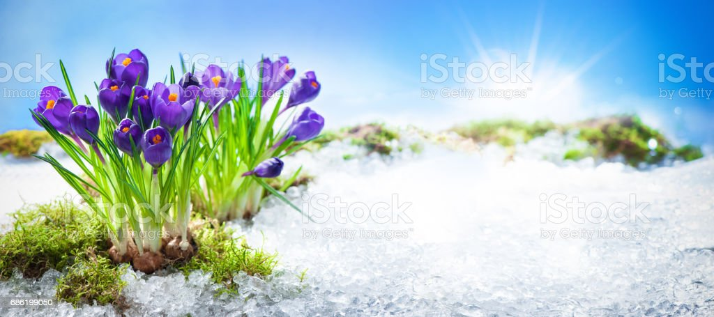 Crocus flowers blooming through the melting snow stock photo