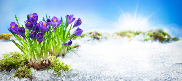 crocus flowers blooming through the melting snow - snowdrops stock photos and pictures