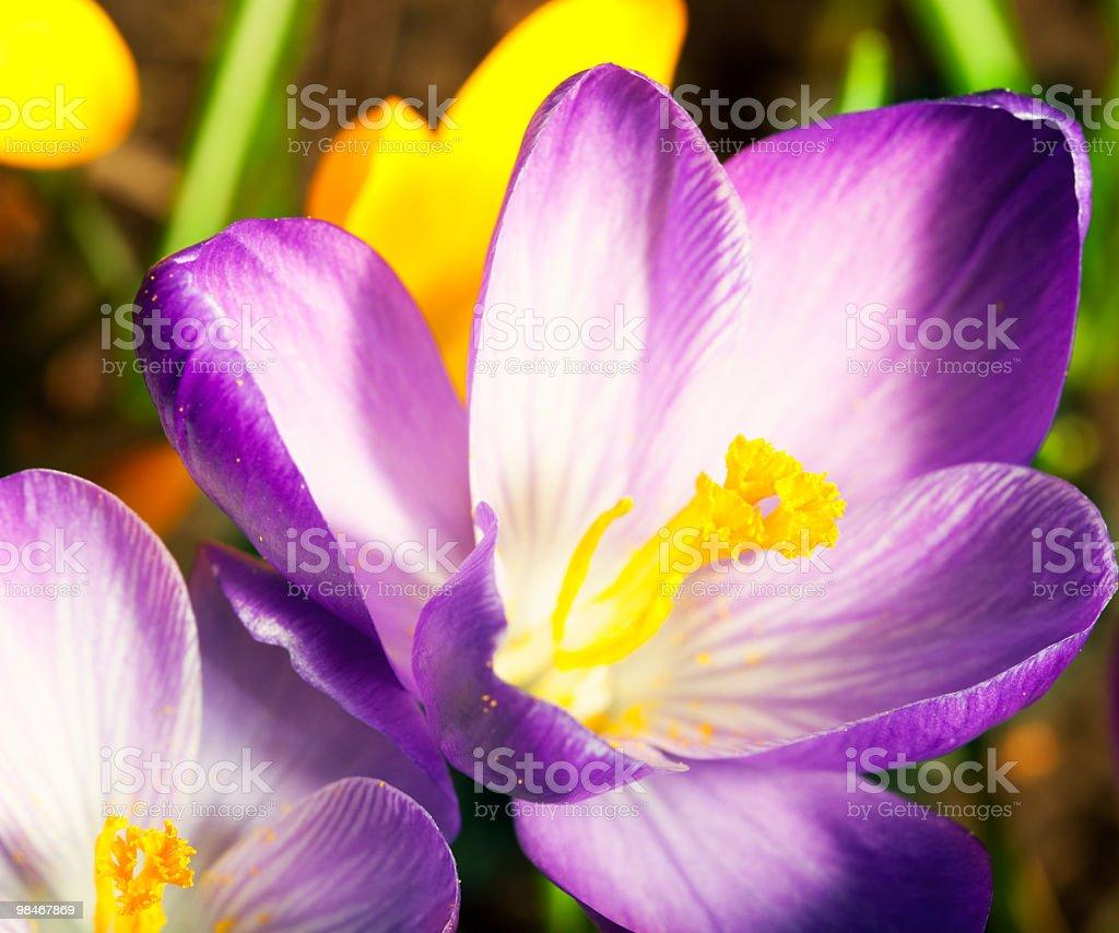 Crocus flowers close up royalty-free stock photo