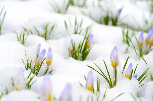Crocus flowers emerging through snow in early spring