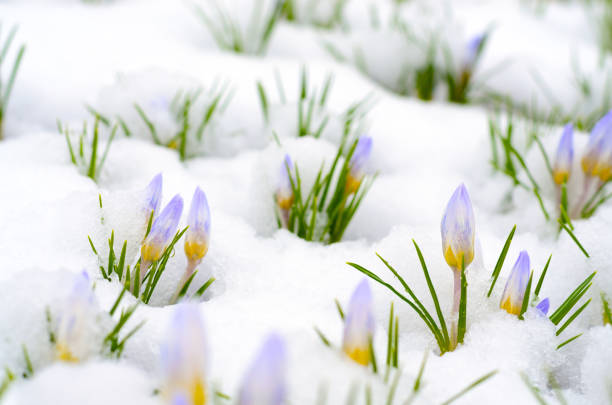 fleurs de crocus émergents grâce à la neige au début du printemps - crocus photos et images de collection