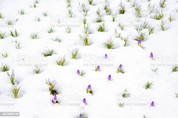 Crocus flowers emerging through snow in early spring picture id922666746?b=1&k=6&m=922666746&s=612x612&h=havroqhuvlohdac wqdgnvvi8qdgymzhvok3badb8nk=
