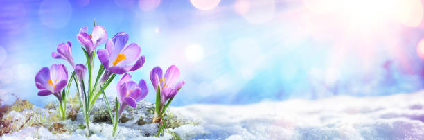 Crocus Flowers Grow In Melt Snow stock photo