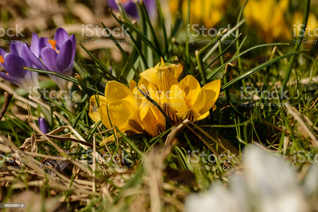 0ce237a7a41e Crocus Flowers In A Garden Stock Photo   More Pictures of April