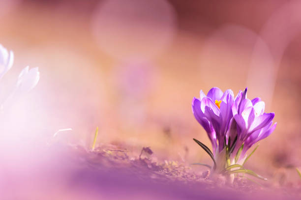 fded0a1c9 Crocus flowers in early spring stock photo