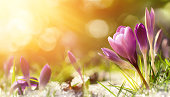 Purple crocus flowers in snow, awakening in spring to the warm gold rays of sunlight