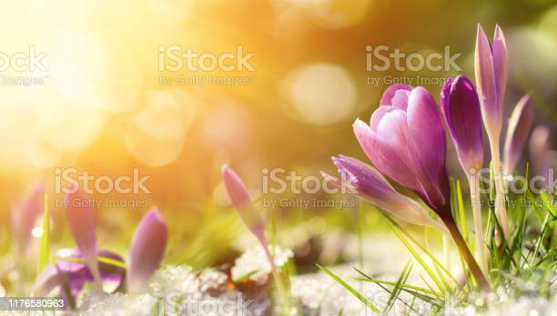 Photo of Crocus flowers in snow awakening in warm sunlight