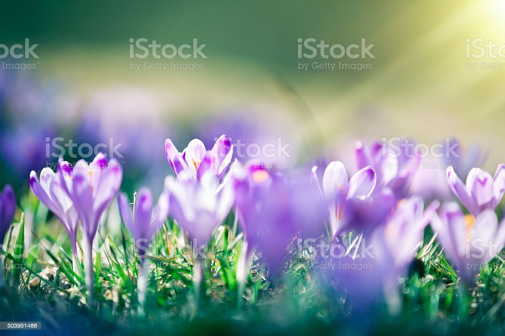 Crocus Flowers In Spring stock photo