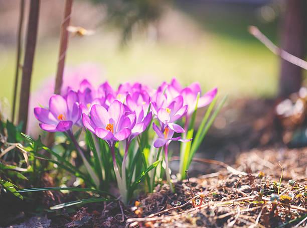 crocus de fleurs de printemps - crocus photos et images de collection