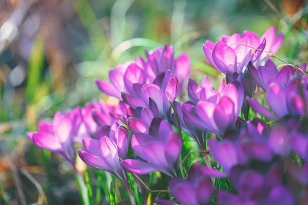 Crocus de fleurs de printemps - Photo