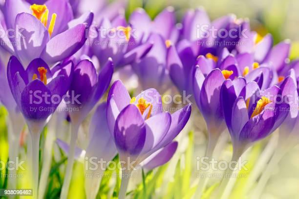 Crocus, Field, Flower, Springtime, Blossom