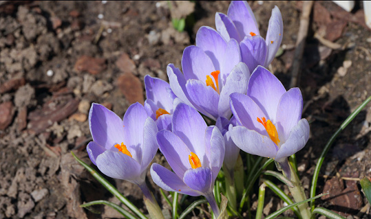 Crocus Flowers In Spring Stock Photo - Download Image Now
