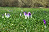 Crocus flowers in the spring in purple colors blooming in a park with fresh green grass