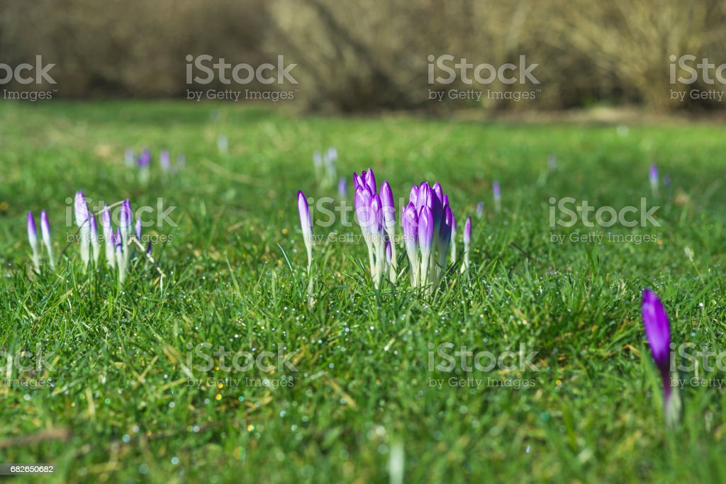 Crocus flowers in the spring in purple colors stock photo