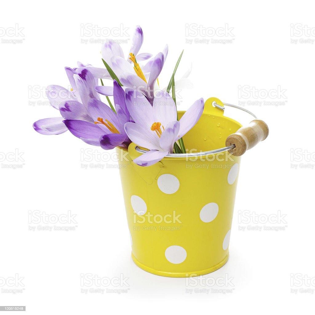 Crocus flowers in yellow bucket royalty-free stock photo