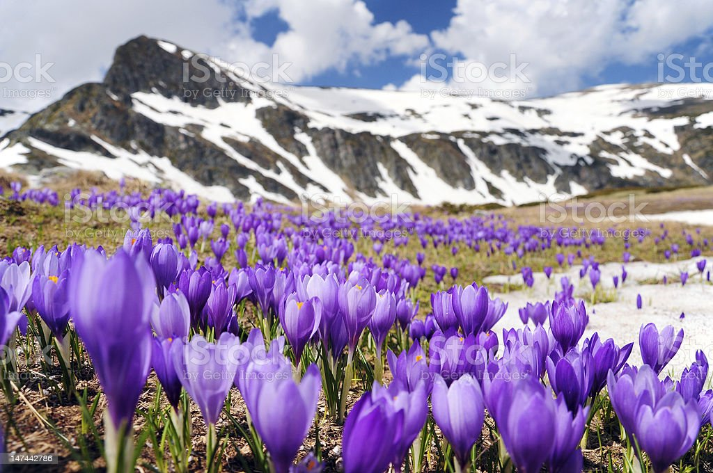 crocus flowers meadow in mountains during early spring royalty-free stock photo