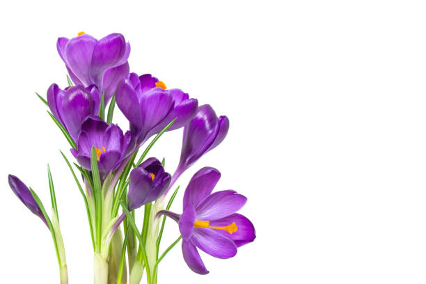 crocus blommor på stjälk med blad isolerad på vit bakgrund, vårsäsongen - flower bouquet blue and white bildbanksfoton och bilder