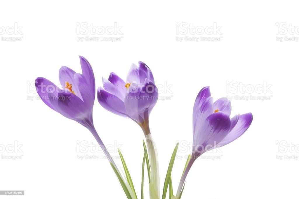 Crocus flowers stock photo