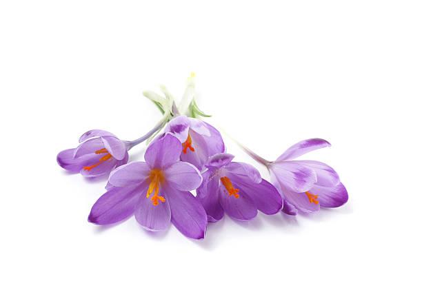 crocus flowers - saffron on white bildbanksfoton och bilder