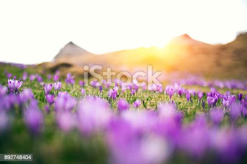 Alpine meadow full of crocus flowers at sunset.