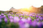 Alpine meadow full of crocus flowers at sunset.
