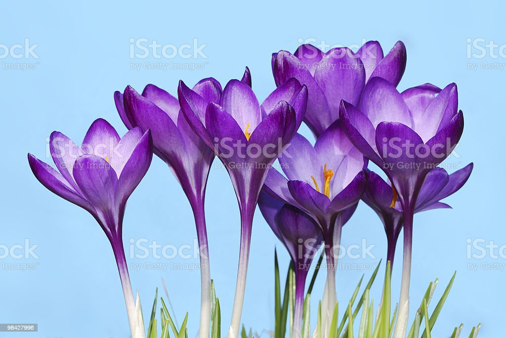 Crocus flowers royalty-free stock photo
