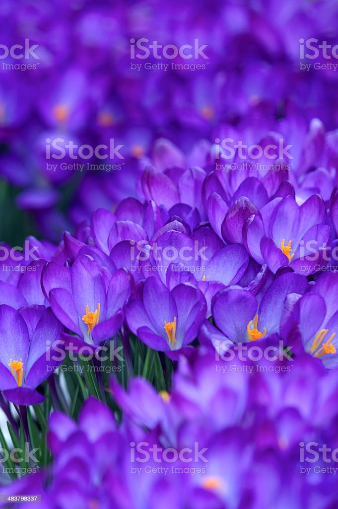 Crocus Forest royalty-free stock photo
