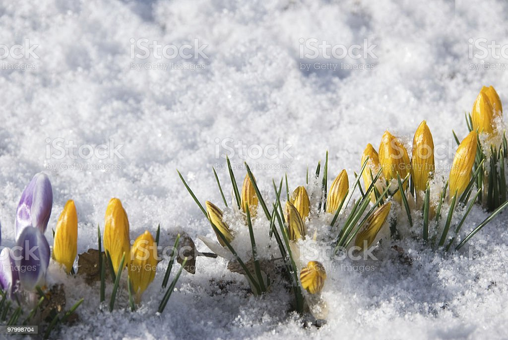 Crocus growing through the snow royalty-free stock photo