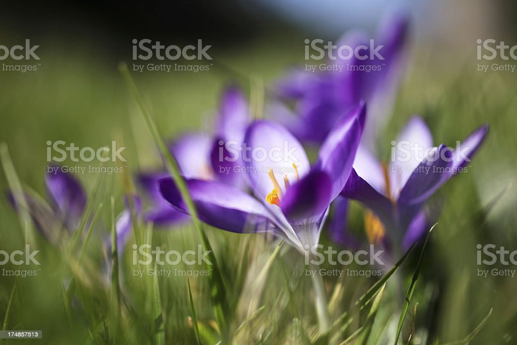 Crocus in Grass royalty-free stock photo