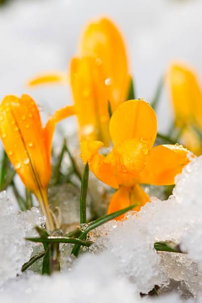 Krokus im Schnee – Foto