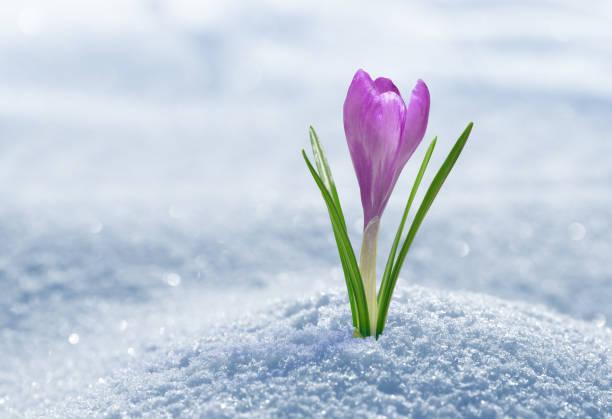 crocus dans la neige - crocus photos et images de collection