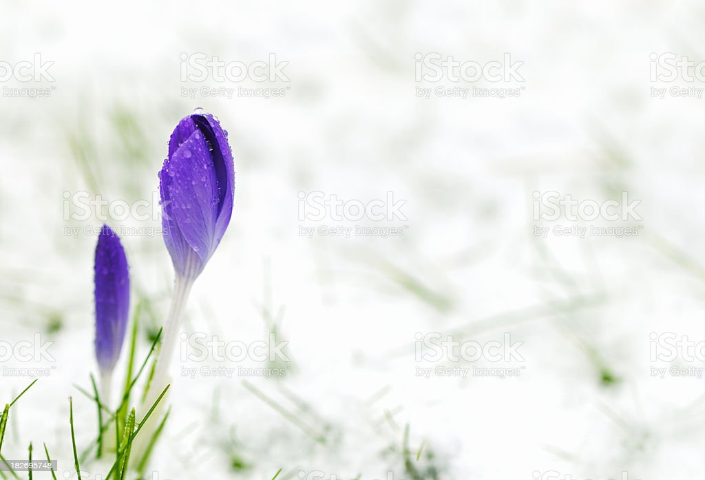 Crocus in the snow stock photo