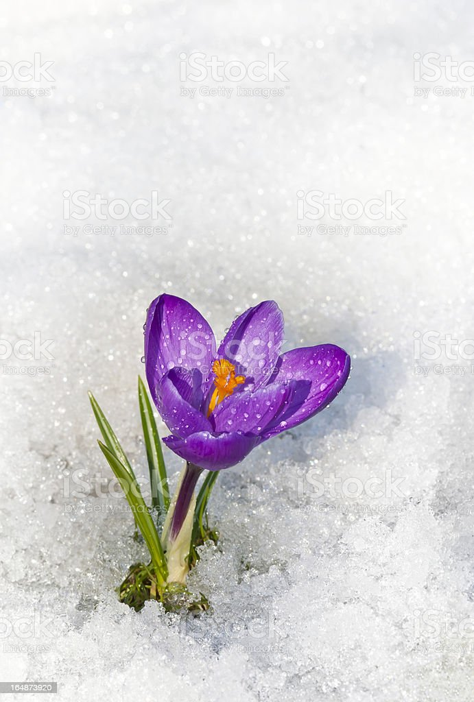 Crocus in the snow with water drops stock photo