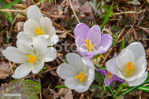Crocus (plural: crocuses or croci) is a genus of flowering plants in the iris family. Flowers close-up on a blurred natural background. The first spring flower in the home garden. D.H