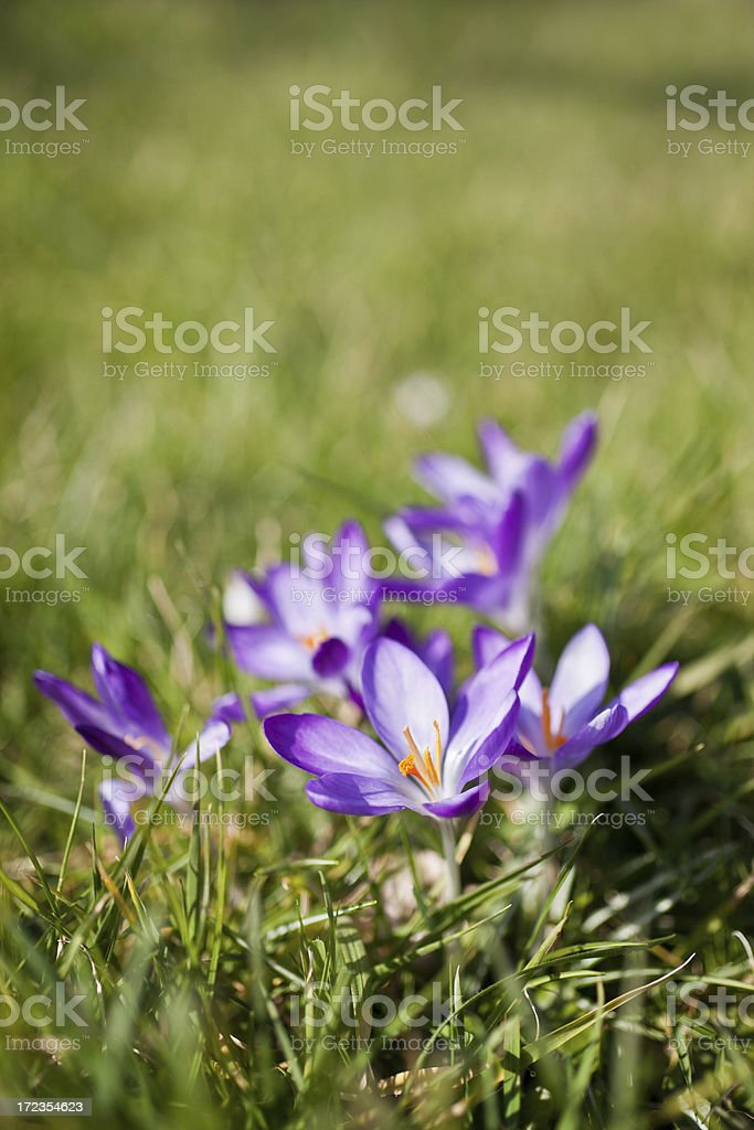 Crocus Lawn royalty-free stock photo