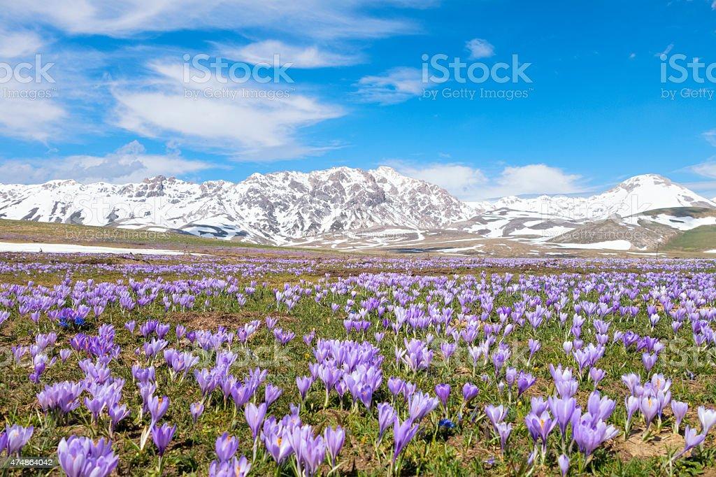 Crocus meadow Campo Imperatore, Province of l'Aquila, Abruzzi Italy stock photo