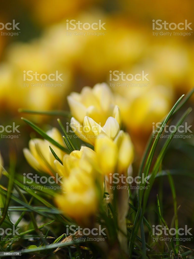 crocus meadow spring royalty-free stock photo