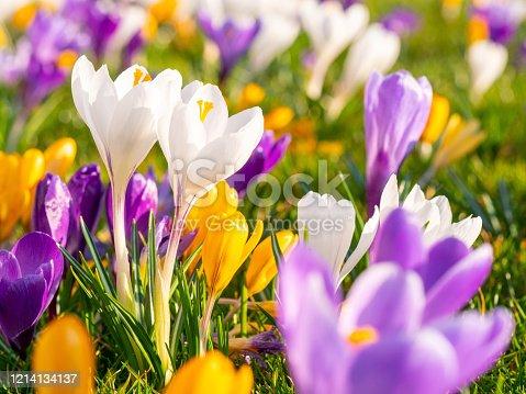 istock Crocus on meadow in spring 1214134137