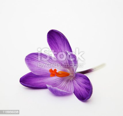 Violet Crocus isolated on white.