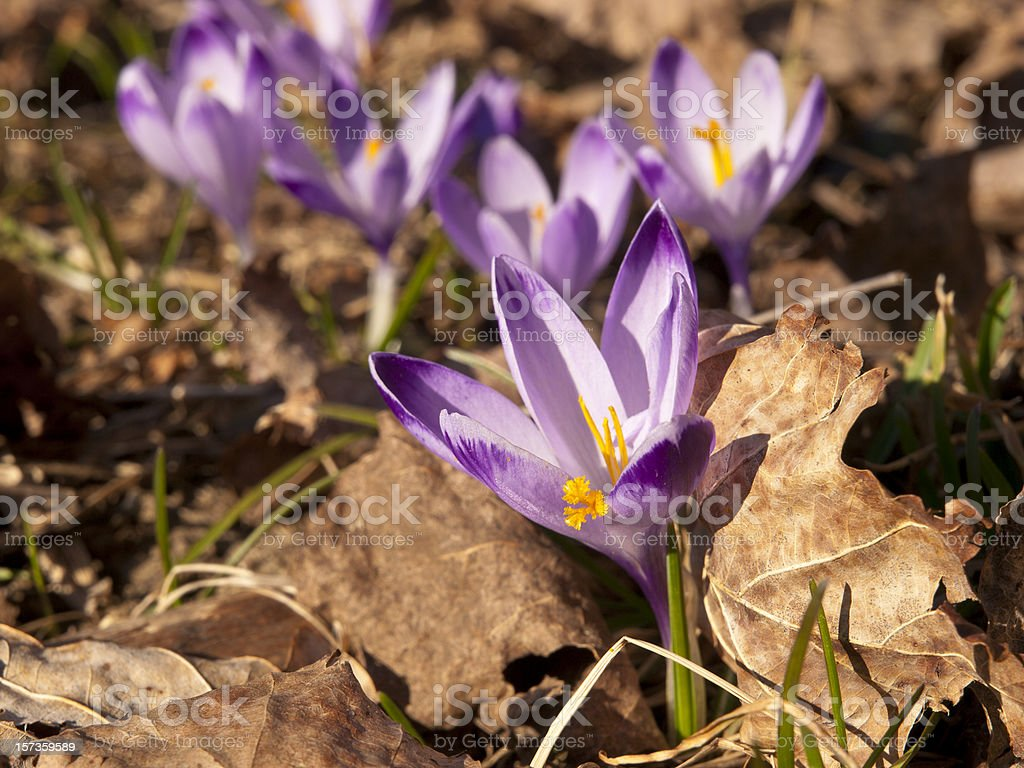 Crocus royalty-free stock photo