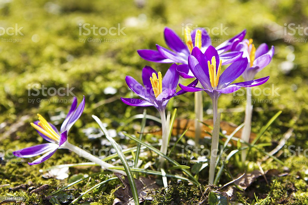 Crocus. royalty-free stock photo