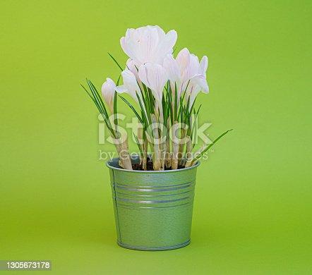 Crocus, plural crocuses or croci is a genus of flowering plants in the iris family. Crocus on green background.