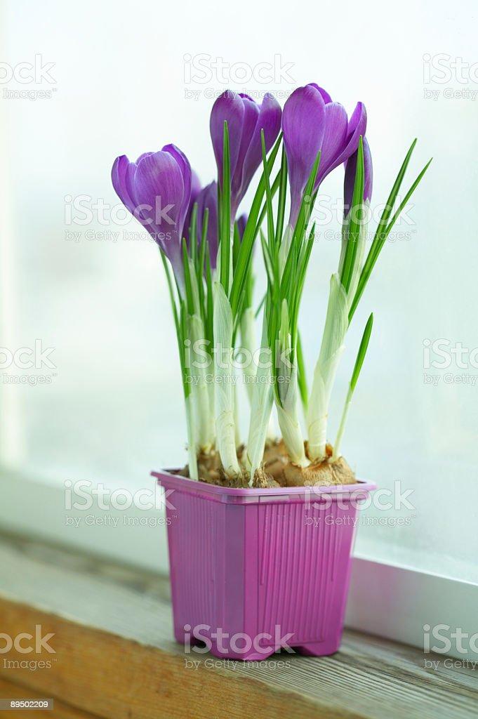 crocus pot royalty-free stock photo