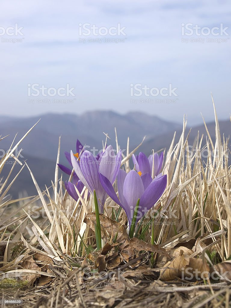 crocus purple flower in mountain landscape royalty-free stock photo