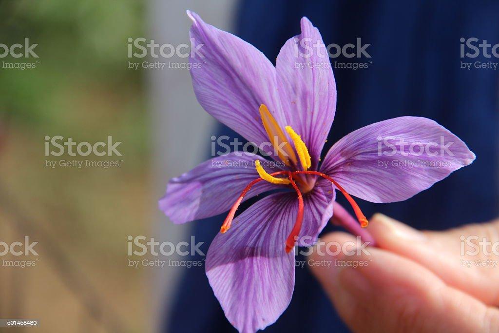 Crocus sativus blossom with crimson stig stock photo
