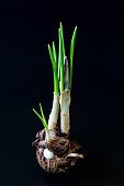 Crocus corm with stem and new sprouts and small new corms on a dark background. Photo for images of gardening, planting, transplanting garden flowers, root system diseases.