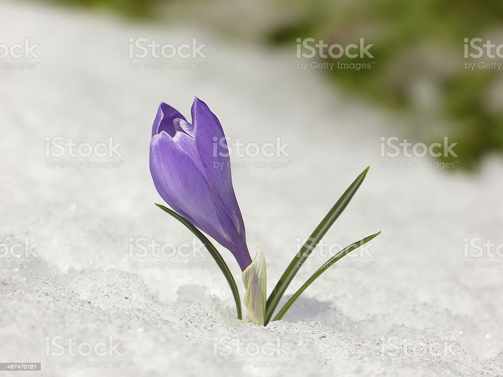 Crocus Spring Flower In The Snow Stock Photo More Pictures Of